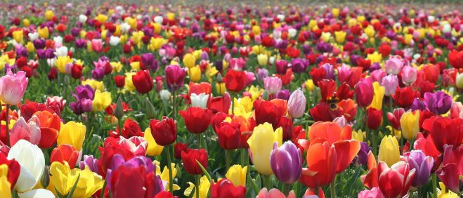 field-of-tulips1