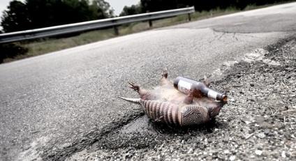 An armadillo is caught holding a beer bottle on Major Drive in Beaumont, Wednesday. Tammy McKinley, The Enterprise in Beaumont, Wednesday. photo by Tammy McKinley