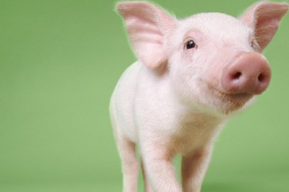 you-have-to-meet-the-16-most-adorable-piglets-on--2-24019-1409484728-0_dblbig