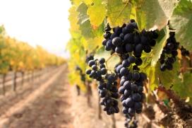 red-grapes-Ventana-9.07